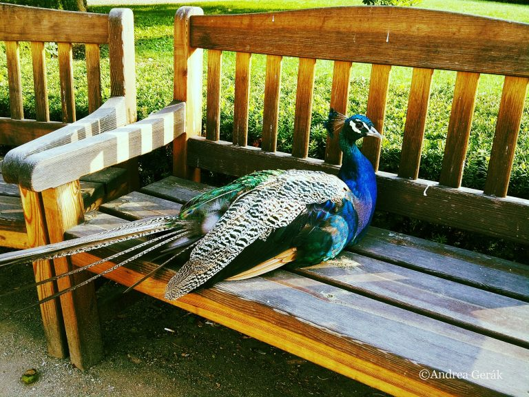 Peacock on bench vivid
